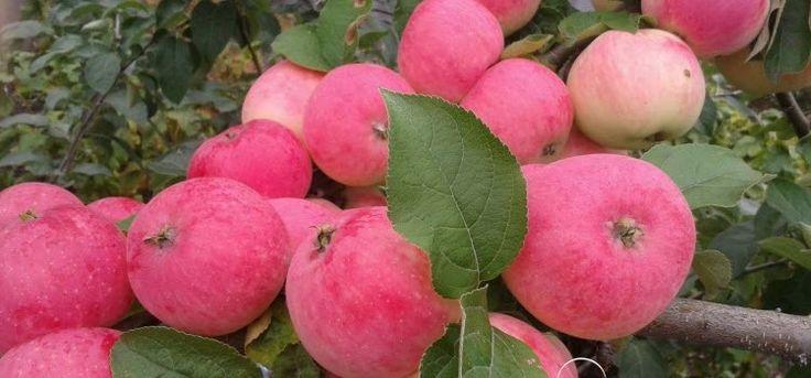 Как посадить яблоню в саду?
