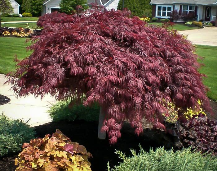 Crimson Queen Japanese Maple Red maple tree, Japanese