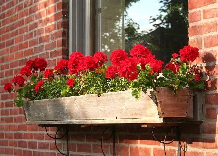 Lindos Gerânios Vermelho em Vaso de Flor na Janela