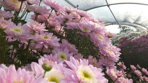 Crisantemi recisi