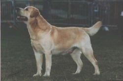 Лабрадор ретривер - породы собак