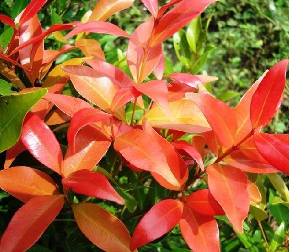 Pucuk merah (Syzygium oleana)