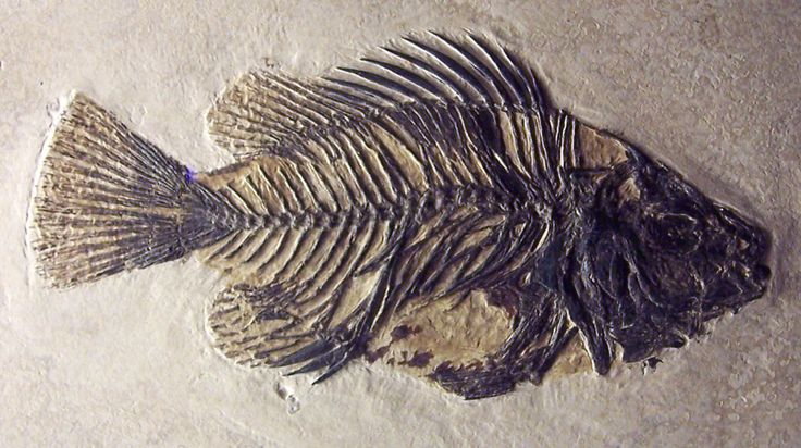 Fossilized Fish   Louisville Fossils and Beyond: Priscacara clivosa Fish Fossil