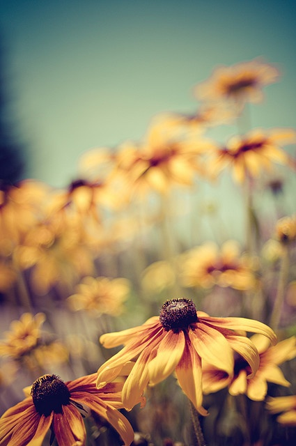 black eyed susans!  I need to get these back in my garden.  I killed the ones we had when we moved in because the weeds were so overgrown.