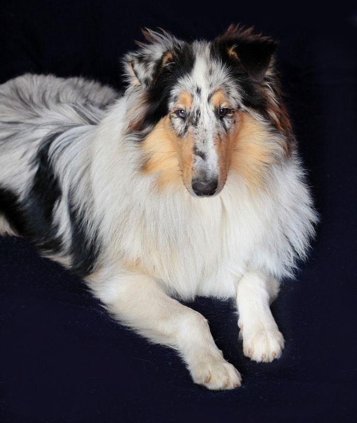 Cachorro [ROUGH COLLIE] Mayo 2011 | Rough Collie blue merle … | Flickr