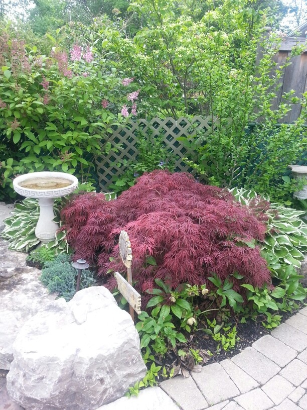 17 Best Ideas About Japanese Maple Garden On Pinterest