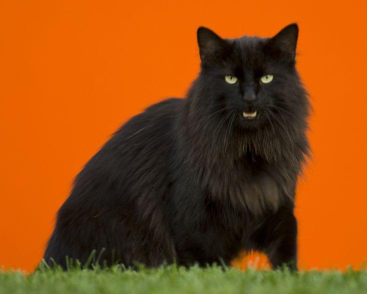 BlackNorwegianForestCatWinter - Norwegian Forest cat - Wikipedia, the free encyclopedia