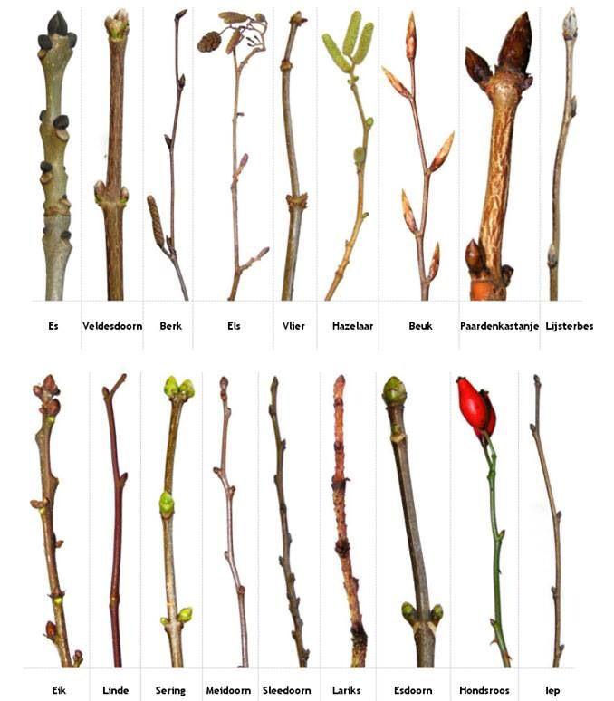 * Tijdens de herfts/lente-wandeling: Bomen/struiken herkennen in winter/lente