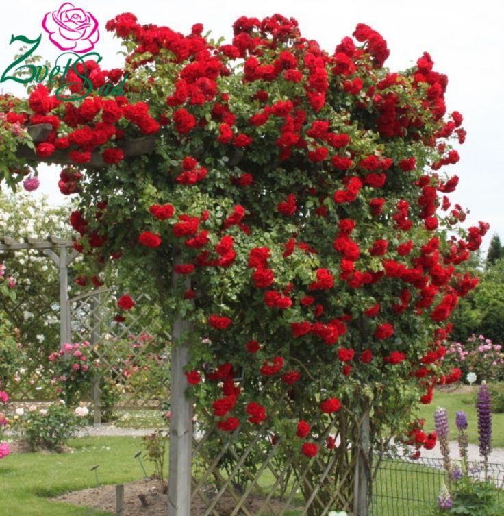 Плетистые и вьющиеся розы. Обзор сортов (фото)