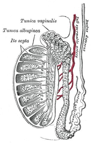Vertical section of the testis, to show the arrangement of the ducts.