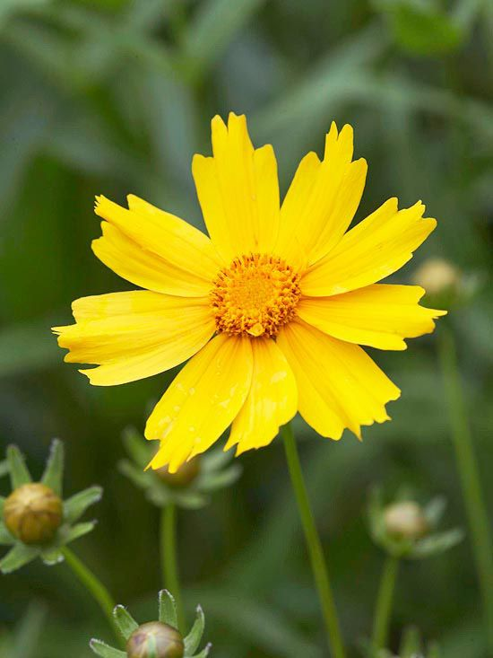 Coreopsis - great for cut flowers.  Zones 3-9