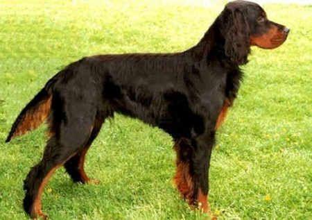 Gordon Setter. Sport dog.