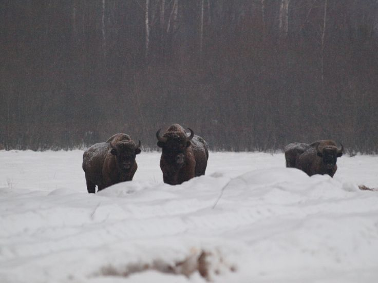 European bisons in natural habitat - Białowieża National Park; Białowieża Biodiversity Academy www.WEJMUTKA.pl