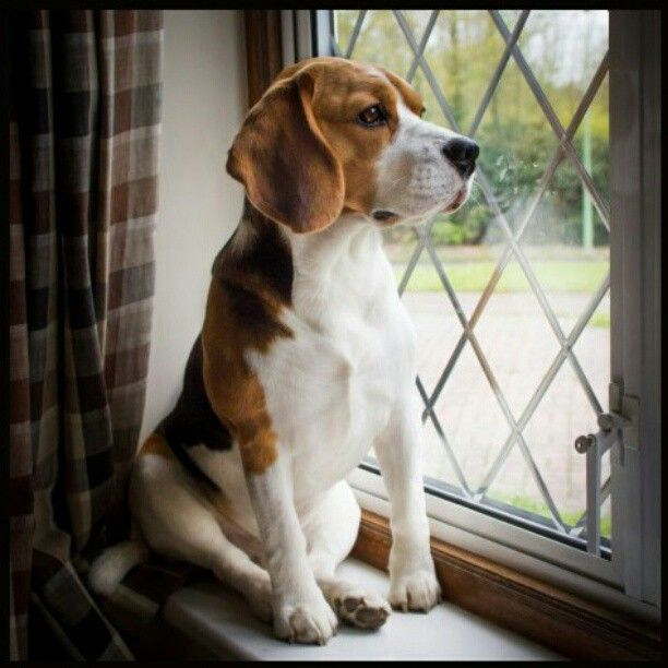 The lovely Beagle Louie in one of his favourite places - on the windowsill