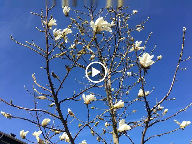Времена года: Расцвела моя магнолия (magnolia Kobus in Cont)