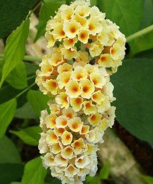 Golden Glow Buddleia Plant