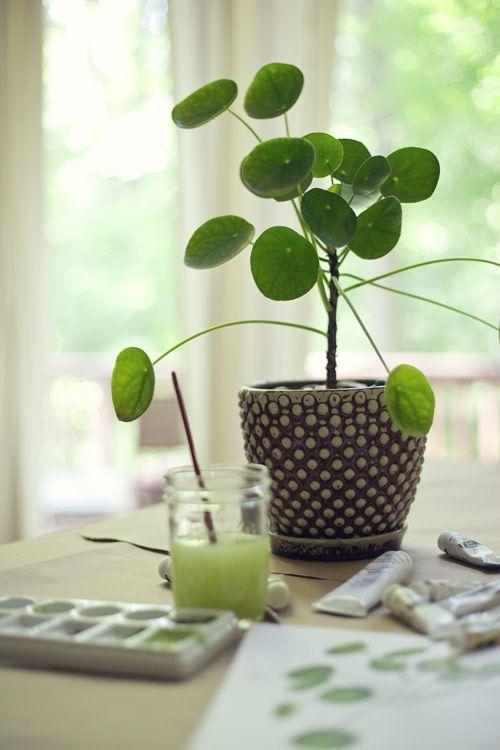 Pilea peperomioides. Plante à monnaie chinoise