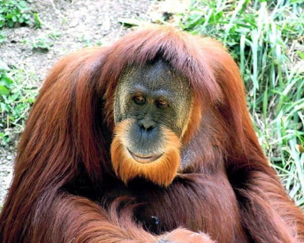 Orangutan kelimesinin latin alfabesi kullanan tüm dillerde neredeyse tamamen aynı şekilde yazılıp söylenir. Orang-outan falan olabiliyor bazen tabi, ama okunuşu hep aynı.