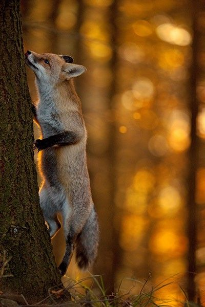The gray fox (Male reynards, females vixensis) one of only two canine species known to climb trees