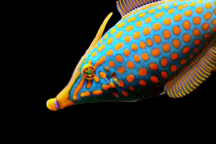poisson exotique tropical coloré sur fond noir images gratuites