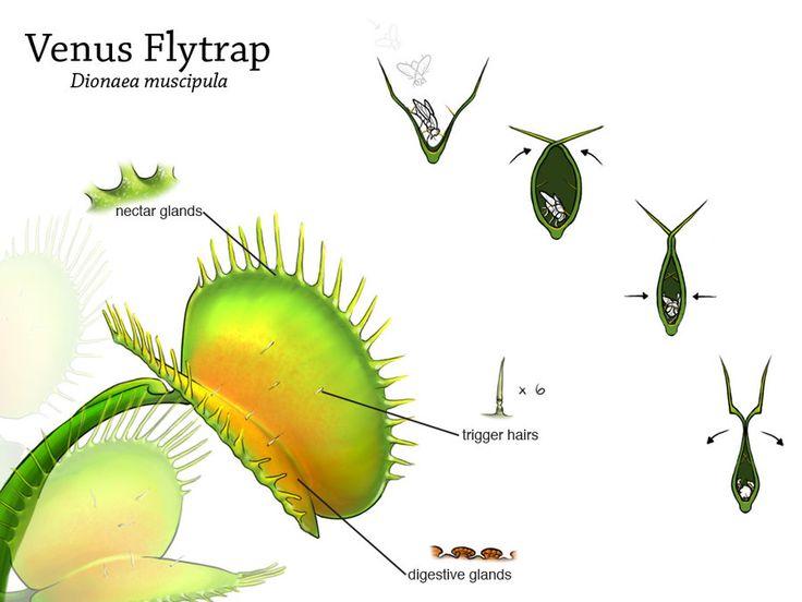 Plantas Carnívoras: Dionaea muscipula, a Vênus Papa-Moscas