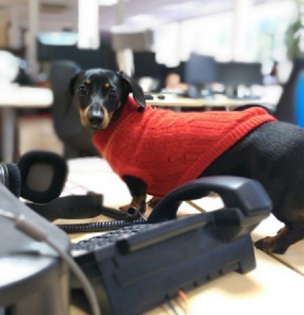 Peggy at her desk #OfficeDog #Dachshund
