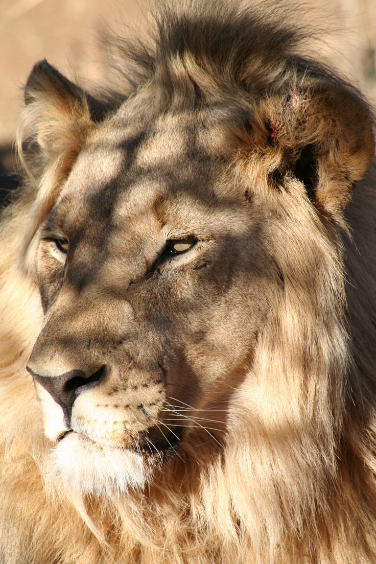 Lions are our best friends at SA Surfari. If we're not surfing, hiking or cruising the country, we are tracking down these cats in the bush.