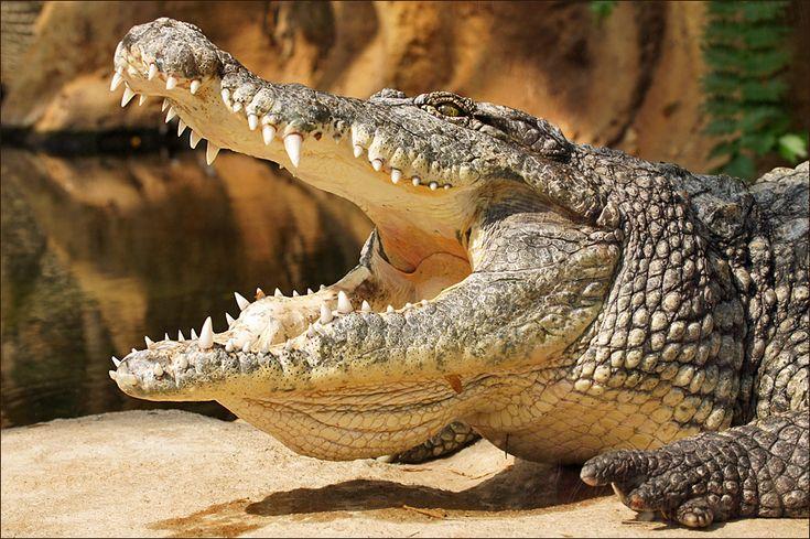 All sizes | Nile Crocodile | Flickr - Photo Sharing!