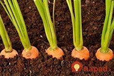 Túžite si vypestovať úžasne veľké a chutné mrkvy? Tajomstvo tkvie v ingrediencii, o ktorej by ste to nikdy nepovedali!