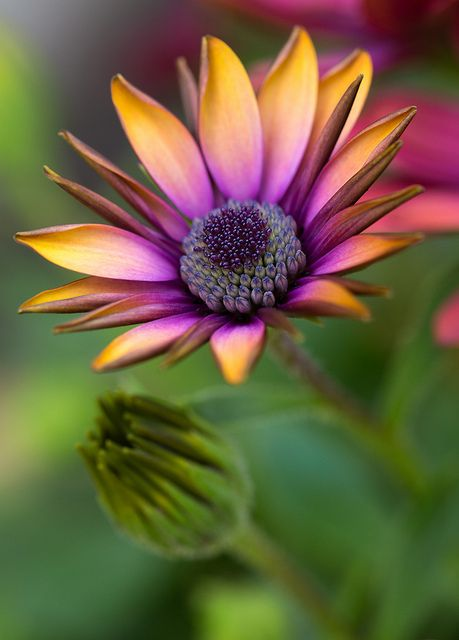 African daisy - look at those colors!!