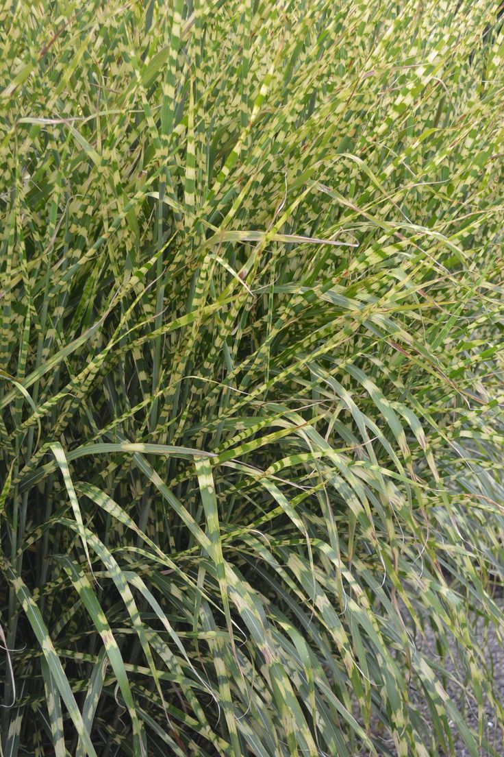 1000 images about ornamental grasses on pinterest for Different ornamental grasses