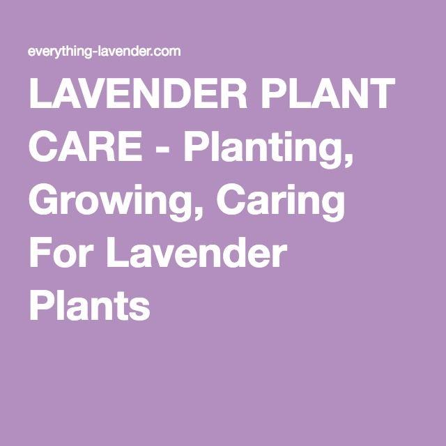 LAVENDER PLANT CARE - Planting, Growing, Caring For Lavender Plants