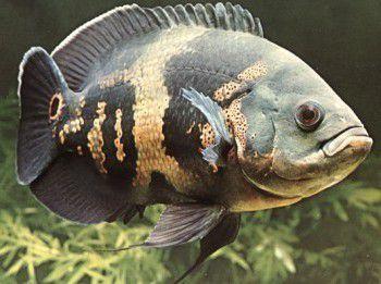 Peixe Óscar – Alimentação, Reprodução e características do Peixe Óscar