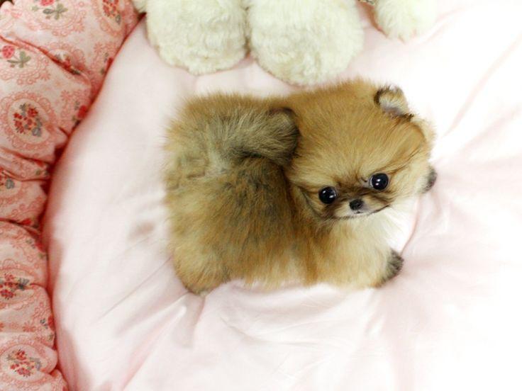 Teacup Pomeranian - Looks like a little chipmunk!