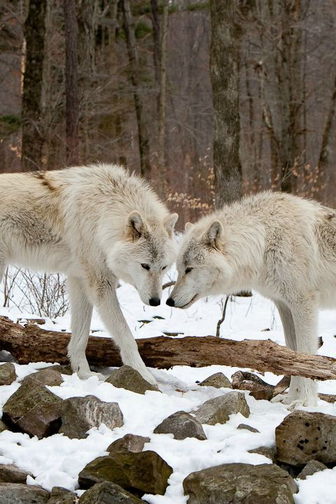 Wolves in the snow.