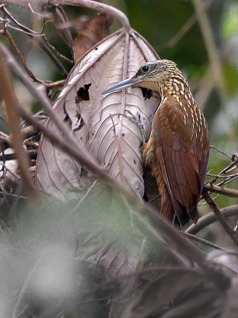 Foto arapaçu-de-garganta-amarela (Xiphorhynchus guttatus) por José Kachimareck | Wiki Aves - A Enciclopédia das Aves do Brasil