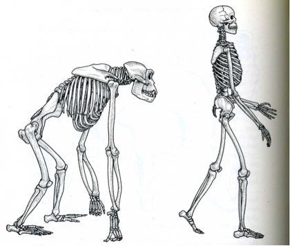 gibbon human chimpanzee - google search | addiction | pinterest, Skeleton