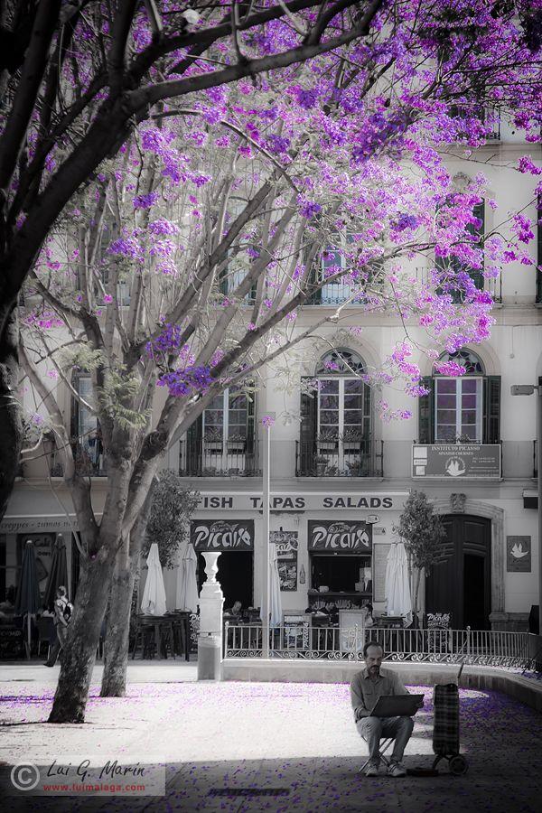 jacaranda, plaza de la Merced, donde nacio Picasso, en Málaga