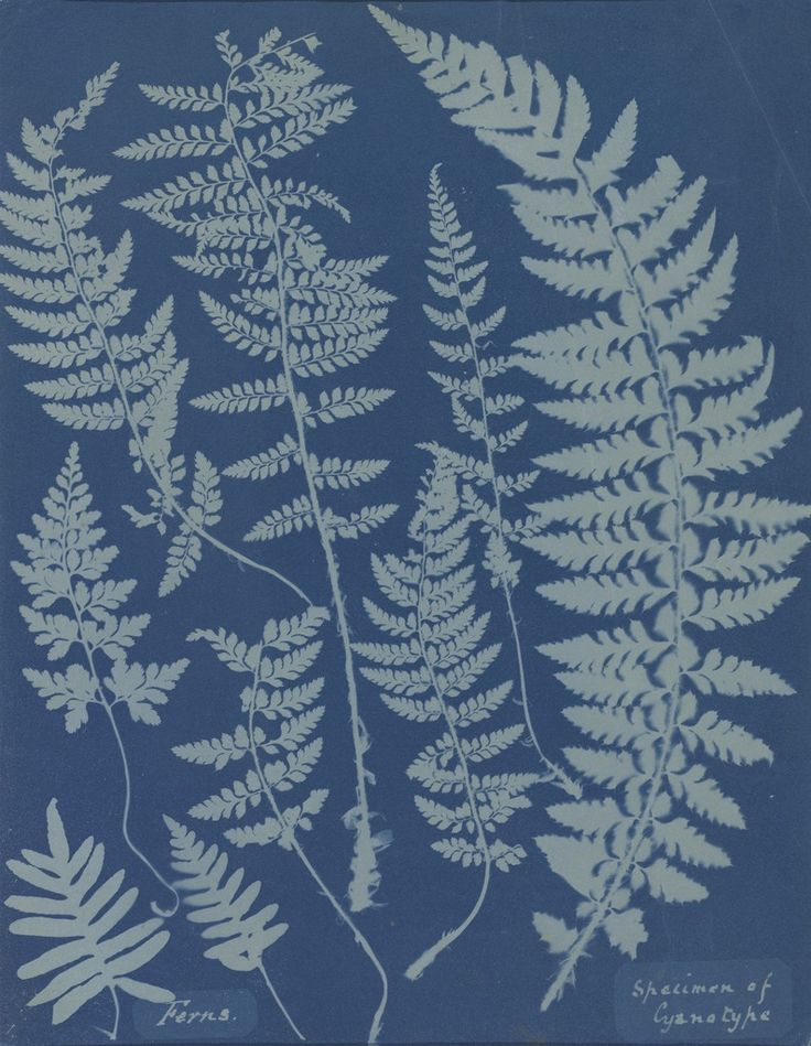 Anna Atkins, Ferns. Specimen of Cyanotype, 1840s, National Gallery of Art, Washington, D.C.