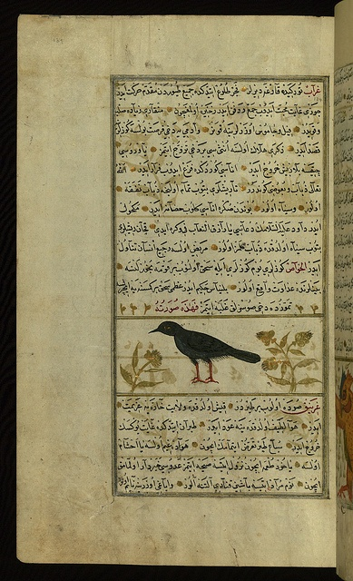 Turkish version of the Wonders of creation, A raven , Walters Manuscript W.659, fol. 134a by Walters Art Museum Illuminated Manuscripts, via Flickr