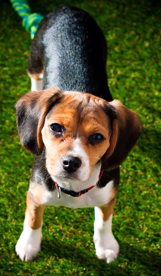 4 month old Beaglier (beagle/cavalier King Charles spaniel mix)