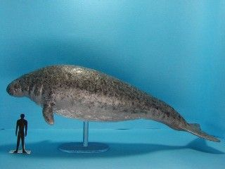 STELLER SEA COW.....EX....an extinct marine animal found only around the Commander Islands, located in the Bering Sea between Alaska and Russia....within 27 years of its discovery by Europeans it was hunted into extinction for its meat, fat, and hide....declared extinct in 1768