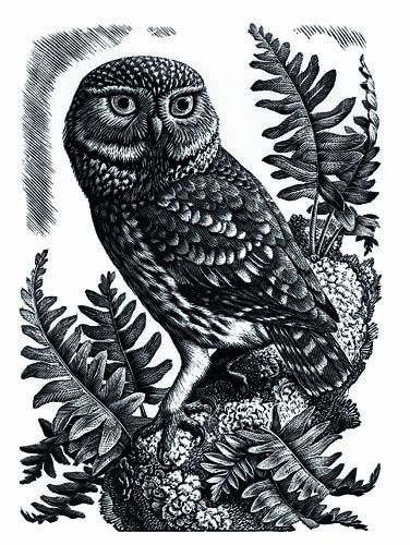 Little Owl by Charles F. Tunnicliffe