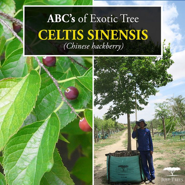 his deciduous tree is part of the hemp family and originally is found in parts of China and Korea. A large tree, it can reach up to 20m and this beautiful tree grows well in any soil type, providing shade in summer and light in winter. Fast-growing and very effective as a screen or avenue, this tree can be pruned and shaped easily when young. This is a large tree and should not be planted too close to buildings or roads. Its edible fruit and attractive appearance make it an all-round winner!