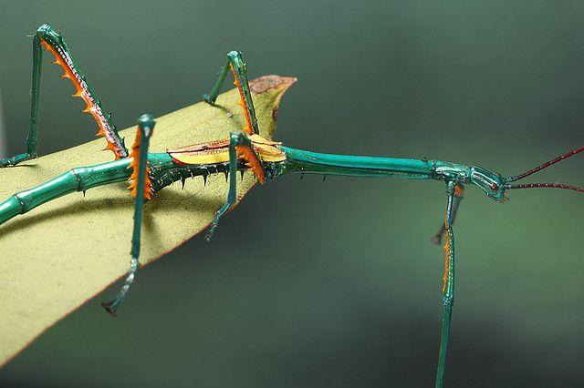 Achrioptera fallax por Tommaso Renzi: Un insecto palo encontrado en Madagascar. Los machos tienen alas reducidas (como en la foto) y son incapaces de huir.