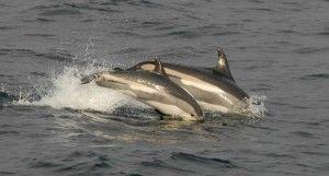 Lagenorhynchus acutus - Atlantic White-sided Dolphin