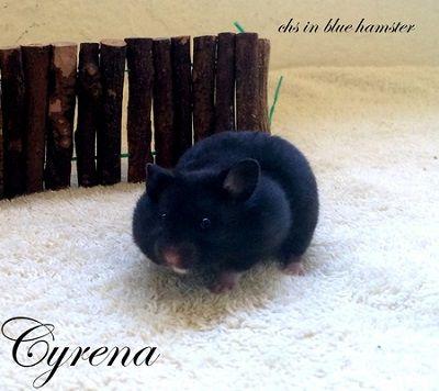 Cyrena chs in blue hamster