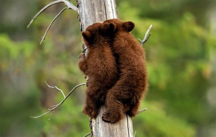 Black bear cubs climbing a tree together