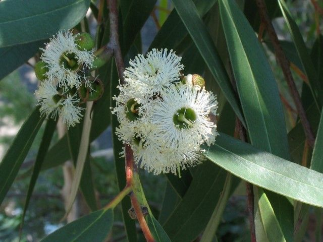 Eucalyptus Little Specky --- For more Australian native plants visit austraflora.com