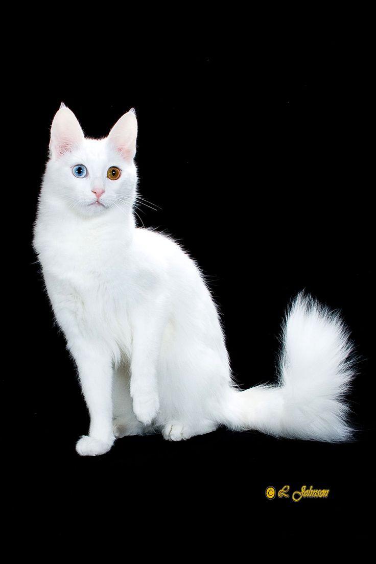 8 best Turkish Angora Cats images on Pinterest